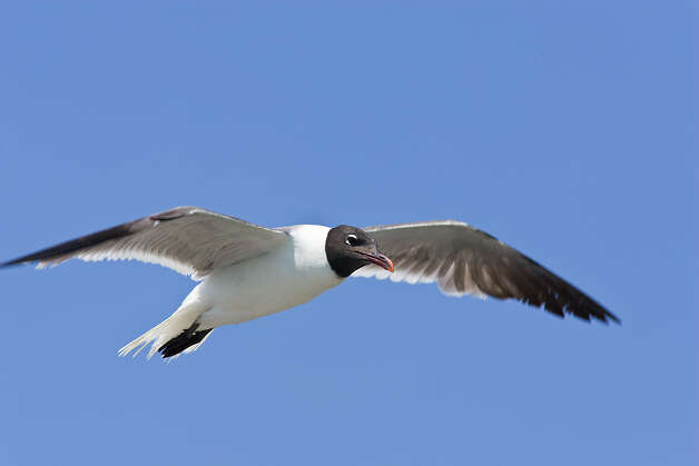 Gulls are amazingly agile aerialists. Photo: Kathy Adams Clark / Kathy Adams Clark/KAC Productions