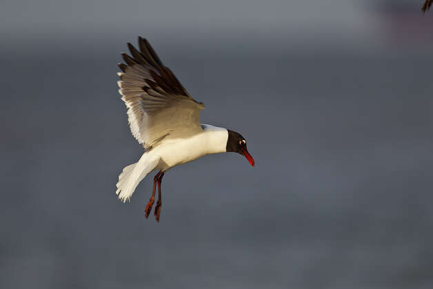 Laughing gulls are born in June or July; they will head to the Pacific Coast of Mexico or Central America in the fall, and return to Texas to breed when they are 3 years old. Photo: Kathy Adams Clark / Kathy Adams Clark/KAC Productions