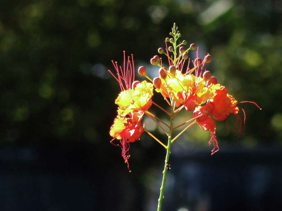 Poinciana, or pride of Barbados, goes well with esperanza.