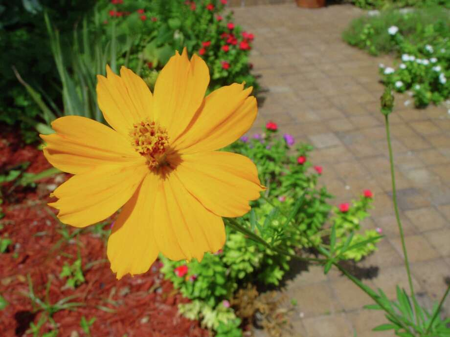 Cosmos brings bright color to the garden in late summer and early fall. Photo: Tracy Hobson Lehmann