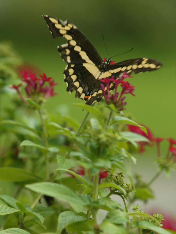 A mosquito mister could be detrimental to butterflies in the garden. Photo: Kevin Fujii / Houston Chronicle