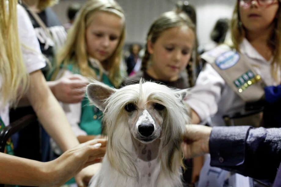 Sisters Victoria Ledum, 10, from left, Natasha Ledum, 8, and Julianna Ledum, 11, pet Jerry, a Chinese Crested, powderpuff variety, owned by Tara Maxey of Uvalde, as they visit the River City Cluster of Dog Shows with a group of Girl Scouts of Southwest Texas at the Exposition Hall on the grounds of Freeman Coliseum in San Antonio on Friday, July 13, 2012. Photo: Lisa Krantz, San Antonio Express-News / San Antonio Express-News