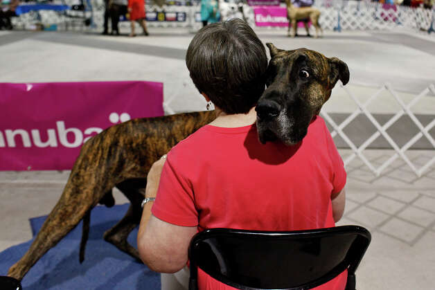 Kay Watts, of Austin, waits with her Great Dane, Honor, to show during the River City Cluster of Dog Shows at the Exposition Hall on the grounds of Freeman Coliseum in San Antonio on Friday, July 13, 2012. Photo: Lisa Krantz, San Antonio Express-News / San Antonio Express-News