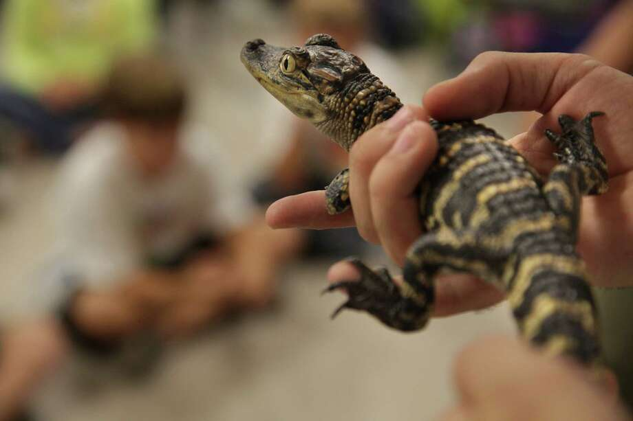 Click through to see everything you need to know about alligators in SE Texas Photo: Mayra Beltran / © 2012 Houston Chronicle