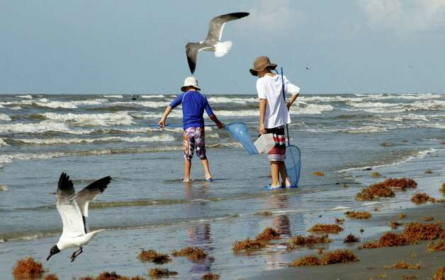 Carson (left) and Cadan Hanson joined a pair of sea gulls  at a  Galveston beach littered only with seaweed on the Fourth of July holiday.