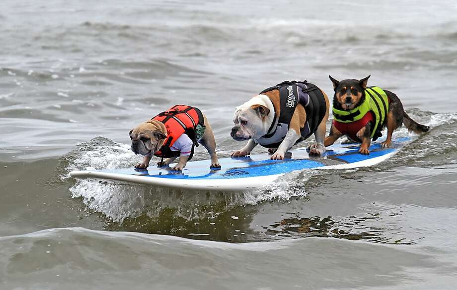 Huntington Beach has the premier dog beach in Southern California. In September it hosts Surf City Surf Dog, which includes a surfing contest for canines. Photo: Diane Edmonds, YourWavePics.com