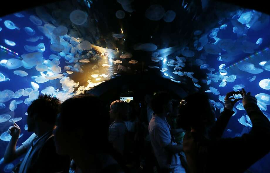 Visitors watch brown jellyfish at Sunshine Aquarium in Tokyo, Saturday, July 14, 2012.(AP Photo/Itsuo Inouye) Photo: Itsuo Inouye, Associated Press