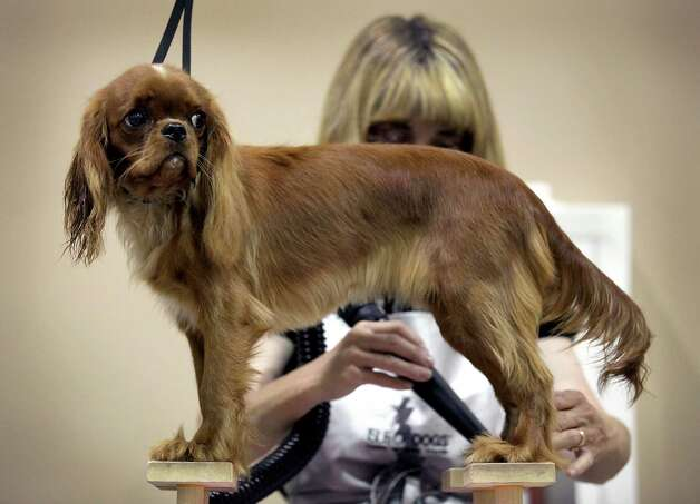 Cruisin Lil De Mermaid, a Cavalier King Charles Spaniel, is groomed by owner Cindi Rackler of Oklahoma, before being shown at the River City Cluster of Dog Shows, with the Alamo Area Toy Dog Club showing on Wednesday, July 11, 2012. Photo: Bob Owen, San Antonio Express-News / © 2012 San Antonio Express-News