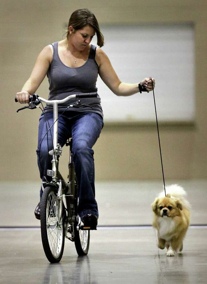Kelli Aitken rides a bike as she walks Moto, her Tibetan Spaniel, during the River City Cluster of Dog Shows on Wednesday, July 11, 2012. Photo: Bob Owen, San Antonio Express-News / © 2012 San Antonio Express-News