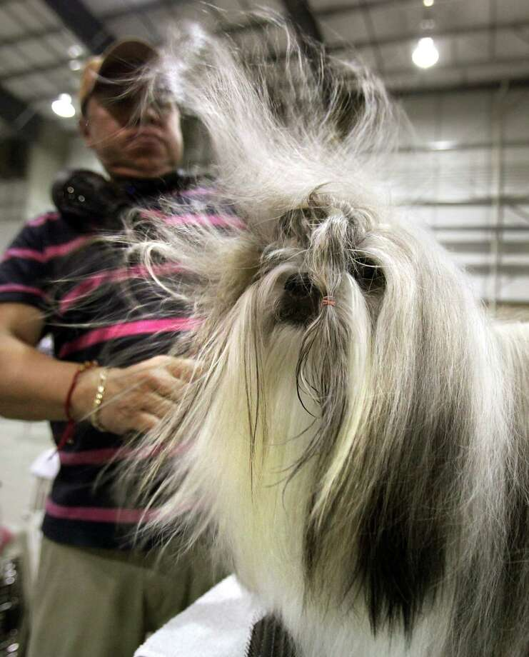 Jesus Osoria, from Monterrey, Mexico, uses a blow dryer on Navigathor, a Shih Tzu, before being shown at the River City Cluster of Dog Shows, with the Alamo Area Toy Dog Club showing, on Wednesday, July 11, 2012. Photo: Bob Owen, San Antonio Express-News / © 2012 San Antonio Express-News