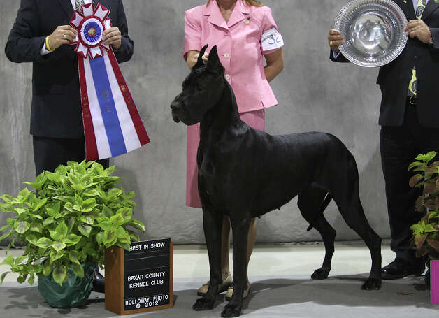 Laura Coomes poses with her black Great Dane, Scout, after winning Best in Show during the River City Cluster of Dog Shows for Bexar County Kennel Club Sunday, July 15, 2012 at Freeman Coliseum. Scout won three best in shows in a row this weekend. Photo: Julysa Sosa, San Antonio Express-News / SAN ANTONIO EXPRESS-NEWS