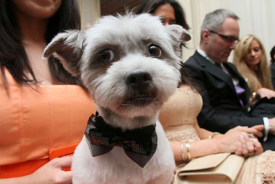 Black tie and tails: Blue Joie dresses up for a formal event at the Humane Society of New York. Photo: Tina Fineberg, Associated Press