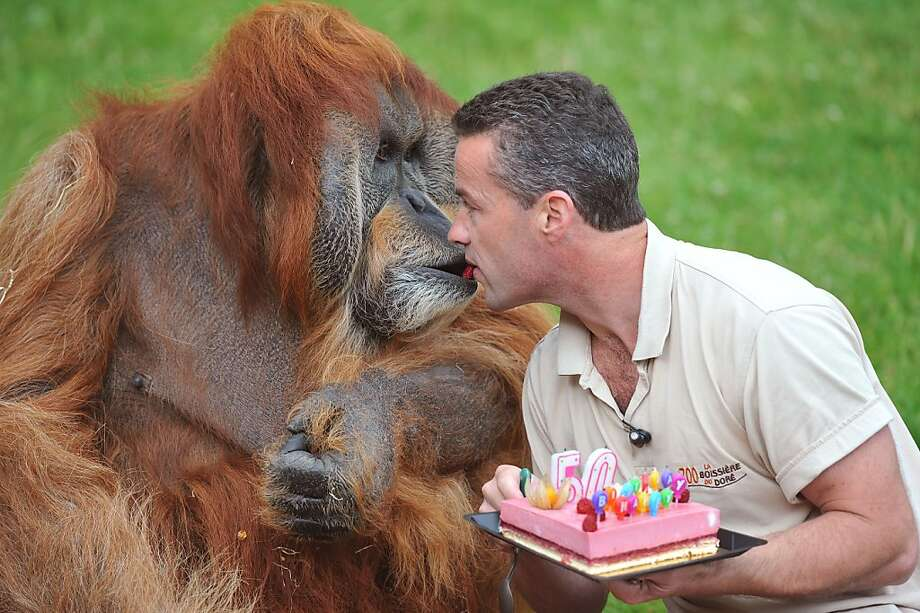 Kissin' cousins: For his 50th birthday, Major gets a slice of strawberry cake mouth to mouth from Sebastien Laurent, the zoo director in Nantes, France. Major, the father of 16, is believed to be the oldest captive orangutan in the world.  Photo: Alain Jocard, AFP/Getty Images