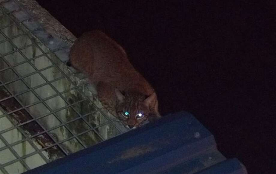 The prison-busting bobcat just before capture. Photo from the Washington Department of Corrections.