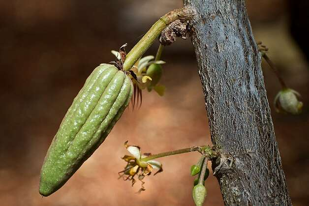 A cocoa bean growing on a tree. Photo: Ecomuseo Del Cacao