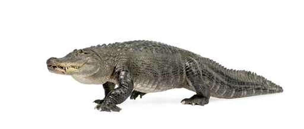 Texas alligators, once nearly extinct, have rebounded since the 1960s. Now at least a half-million live along the coast.