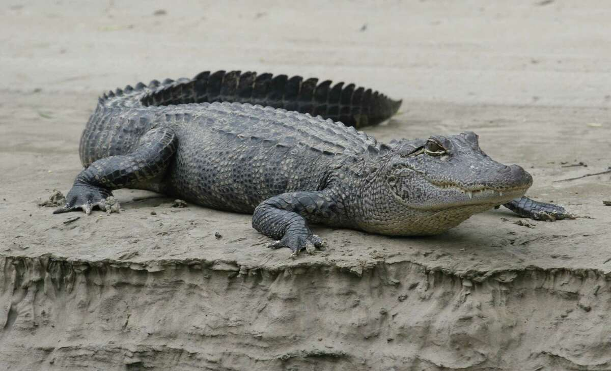 RESILIENT REPTILES - Texas alligators, driven almost to extinction by the 1960s, have rebounded under careful management. Today, at least a half-million gators live in the wetlands along the Texas coast with tens of thousands scattered through the rest of the state.