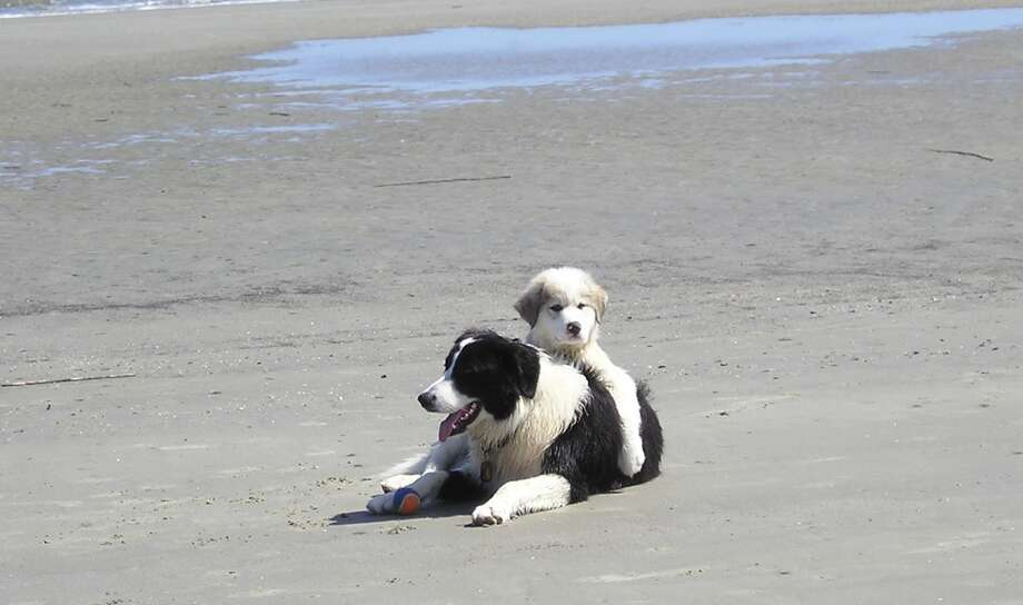 One-year-old Riley (a border collie / Great Pyrenees mix) and 3-month-old Kodi (a Great Pyrenees) relax at the beach in March at Hilton Head South Carolina. (Joe Gardiner)
