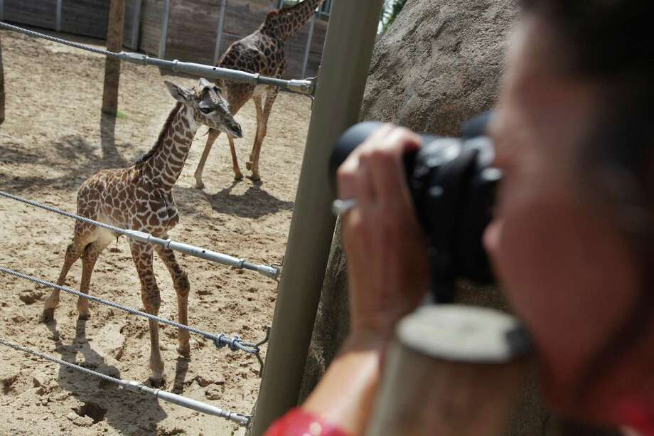 A woman photographs new Masai Giraffe born over the weekend, spends his first day at the McGovern Giraffe Exhibit on Wednesday, July 18, 2012, in Houston.  Mom Tyra delivered the healthy male calf shortly after 8 p.m. on Saturday, July 14th at the McGovern Giraffe Exhibit after a 14 month pregnancy. The Houston Zoo is holding a naming contest online for the calf weighing 160 pounds and 74 inches tall.  ( Mayra Beltran / Houston Chronicle ) Photo: Mayra Beltran, Houston Chronicle / © 2012 Houston Chronicle