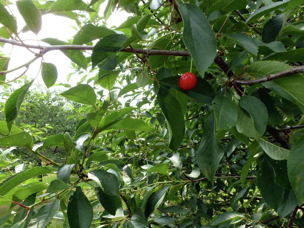 In this June 28, 2012, a cherry hangs on a tree on with very few other cherries in the orchards of Seaquist Orchards in Sister Bay, Wis. The company only expects to get about 10 percent of a full crop this year after frost got the buds that developed early from a warm winter and spring. (AP Photo/Carrie Antlfinger)