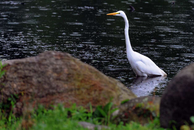 A light rain falls as an egret feeds in the stream that runs to Bunnell's Pond at Beardsley Park in Bridgeport, Conn. on Wednesday July 18, 2012. Photo: Christian Abraham / Connecticut Post