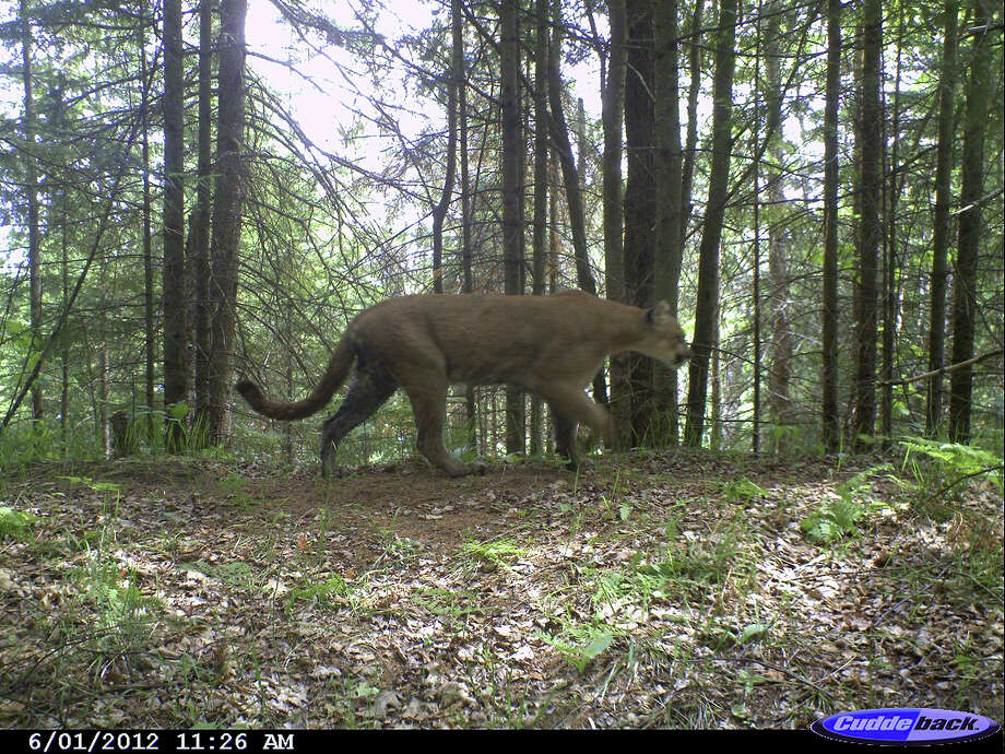 This image provided by the Michigan Wildlife Conservancy shows a photo of a wild cougar they say was taken by a remote camera June 1, 2012, on private property in southern Marquette County, Mich. The Michigan Department of Natural Resources says it has verified the presence of cougars in Michigan at least 15 times in recent years. But the agency says there's no evidence of breeding activity and believes the cats are probably wandering through the state from elsewhere, while the wildlife conservancy believes Michigan has a resident cougar population. (AP Photo/Michigan Wildlife Conservancy) / Michigan Wildlife Conservancy