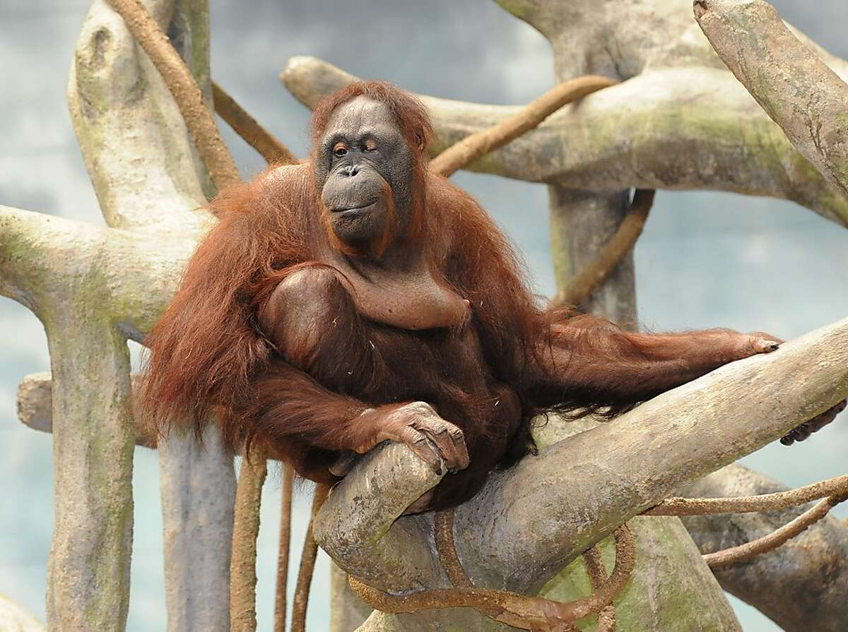 This photo provided by the Chicago Zoological Society shows Maggie, a Bornean orangutan who lives in Brookfield Zoo's Tropic World exhibit, relaxing on her 51st birthday Wednesday, July 18, 2012, in Brookfield, Ill. Born at the San Diego Zoo in 1961, Maggie is the oldest Bornean orangutan living in an accredited North American Zoo. (AP Photo/Chicago Zoological Society, Jim Schulz)