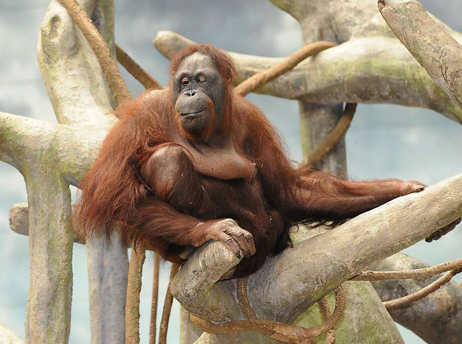 This photo provided by the Chicago Zoological Society shows Maggie, a Bornean orangutan who lives in Brookfield Zoo's Tropic World exhibit, relaxing on her 51st birthday Wednesday, July 18, 2012, in Brookfield, Ill. Born at the San Diego Zoo in 1961, Maggie is the oldest Bornean orangutan living in an accredited North American Zoo. (AP Photo/Chicago Zoological Society, Jim Schulz) Photo: Jim Schulz, Associated Press