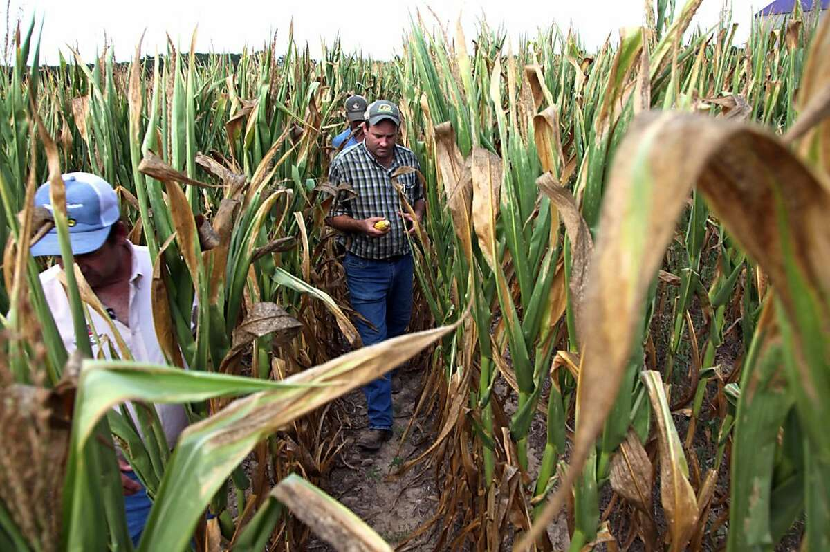 In this July 16, 2012 photo, Rodney Byars, center, walks ahead of his brother, Rich, through a field of dead and stalled corn in Geff, Ill. Over 50 percent of the U.S. is in drought and in the southern part of Illinois they have endured extreme heat and very little rain for more than two months. (AP Photo/Robert Ray)