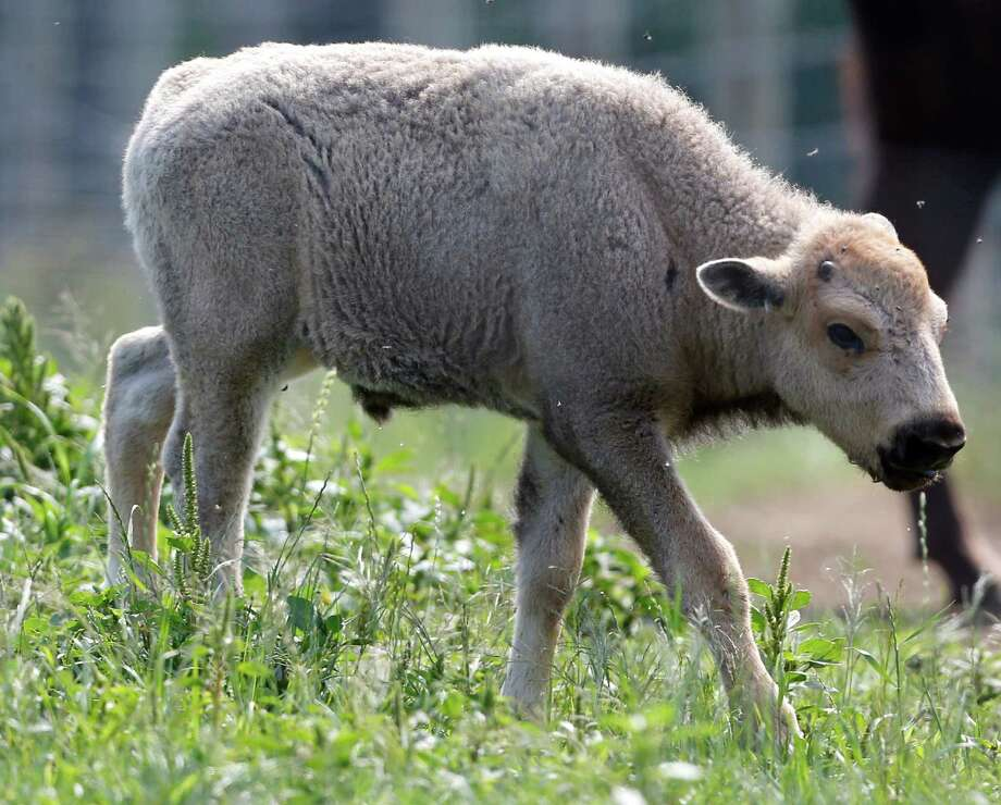 A white bison calf walks in a field at the Mohawk Bison farm in Goshen, Conn., on Wednesday, July 18, 2012. Hundreds of people, including tribal elders from South Dakota, are expected to attend naming ceremonies later this month at the Goshen farm where the animal was born on June 16.(AP Photo/Mike Groll) Photo: Mike Groll, Associated Press / AP