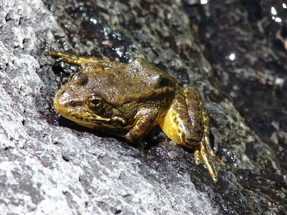 Mountain yellow-legged frog in Kings Canyon, Calif. Photo: Rick Kuyper, US Fish & Wildlife