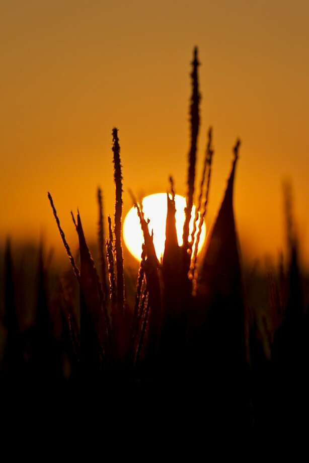 The sun rises over a corn field in rural Springfield, Neb., Thursday, July 19, 2012. The drought gripping the United States is the widest since 1956. (AP Photo/Nati Harnik) Photo: Nati Harnik, Associated Press