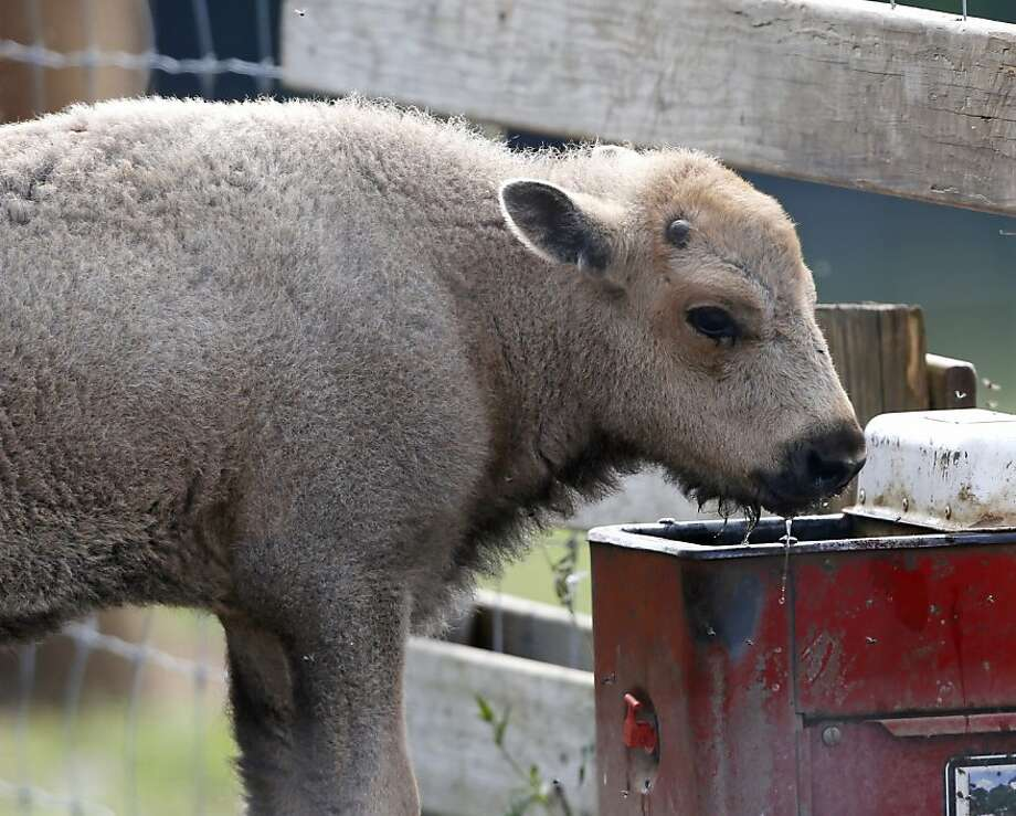 A white bison calf drinks water at the Mohawk Bison farm in Goshen, Conn., on Wednesday, July 18, 2012. Hundreds of people, including tribal elders from South Dakota, are expected to attend naming ceremonies later this month at the Goshen farm where the animal was born on June 16. (AP Photo/Mike Groll) Photo: Mike Groll, Associated Press