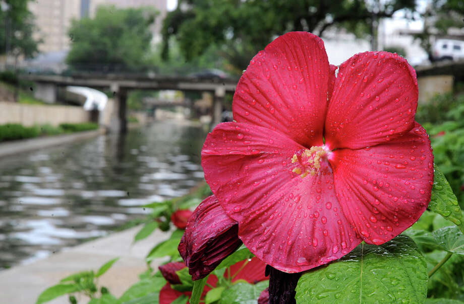 'Flare' hibiscus should be cut to the ground for fall blossoms. Photo: BILLY CALZADA, STAFF / gcalzada@express-news.net