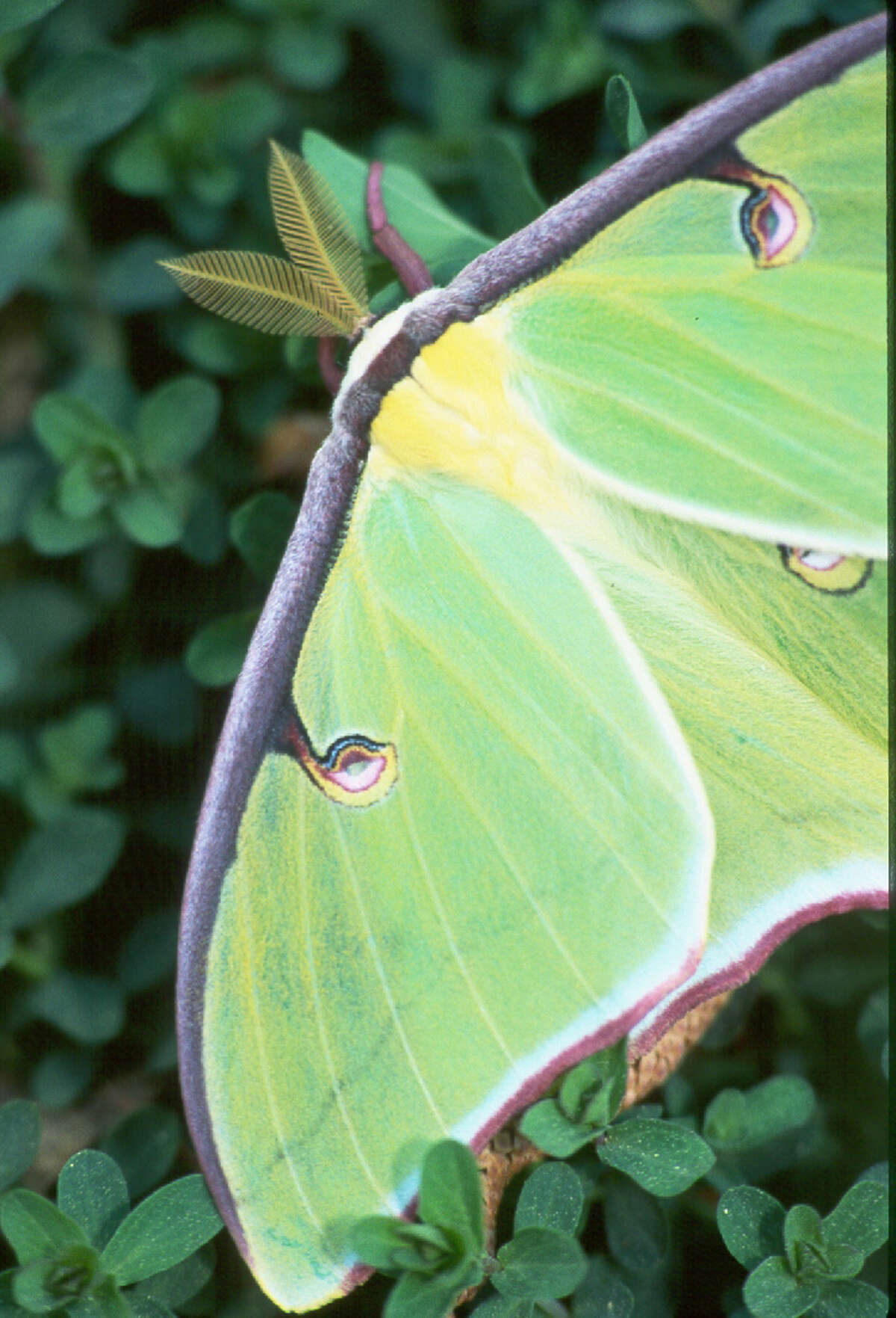 The elegant Luna moth, left, could accurately be called a