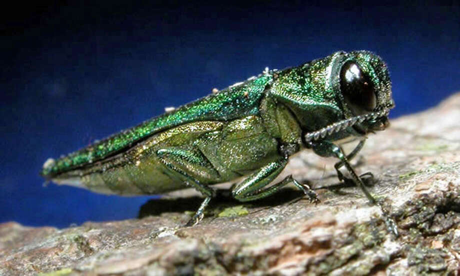 FILE- This undated file photo provided by the Minnesota Department of Natural Resources shows an adult emerald ash borer.  The invasive beetle that has destroyed tens of millions of ash trees over the past decade has been found east of the Hudson River for the first time, marking its closest known threat to New England, researchers in New York told The Associated Press on Wednesday, April 18, 2012. (AP Photo/Minnesota Department of Natural Resources, File) Photo: Associated Press / Minnesota Department of Natural