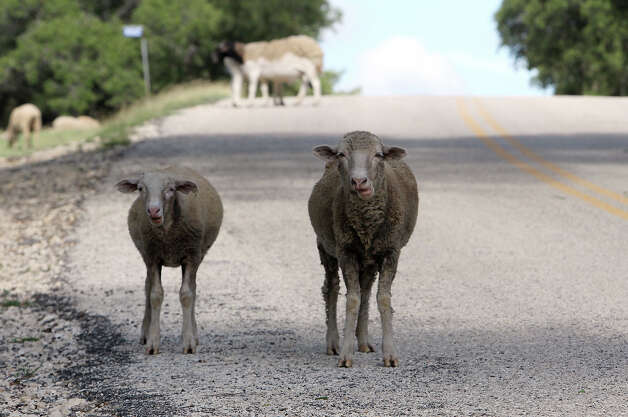 "Sheep gather along Grape Creek Road near Bankersmith, Texas on Thursday, July 19, 2012. The unincorporated town was recently purchased by Bikinis restauranteur Doug Guller who said he would rename the town to Bikinis, Texas. In a press release, Guller expressed a desire to turn the 1.6-acre strip of land into a ""world class destination"" with an event set for the fall. Photo: Kin Man Hui, SAN ANTONIO EXPRESS-NEWS / ©2012 San Antonio Express-News"