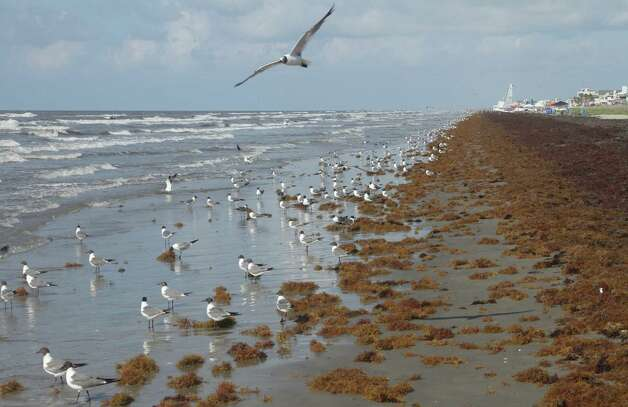Drifts of sargassum, or seaweed, form thick mats along miles of Galveston Island beaches.