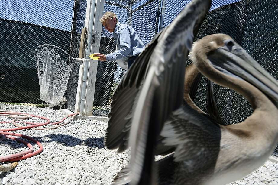 Volunteer John Deakin checks a list of numbers that correspond to tagging bands that each pelican is fitted as he searches for specific pelicans to be removed from the aviary.  The San Francisco Bay Oiled Wildlife Care and Education Center in Fairfield, CA has seen an influx of emaciated brown pelicans in the last few months and volunteers are working diligently to rehabilitate and release them back into their costal environments.  Friday July 20th, 2012 Photo: Michael Short, Special To The Chronicle