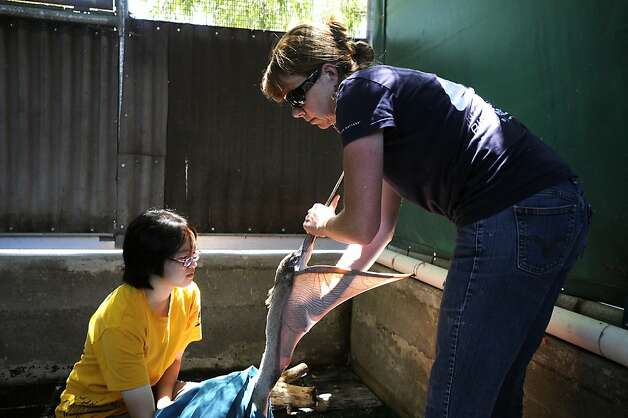 Assistant Manager Maria Travers(R) gives a brown pelican a treatment for mites as volunteer Weina Dai holds the bird.  The San Francisco Bay Oiled Wildlife Care and Education Center in Fairfield, CA has seen an influx of emaciated brown pelicans in the last few months and volunteers are working diligently to rehabilitate and release them back into their costal environments.  Friday July 20th, 2012 Photo: Michael Short, Special To The Chronicle
