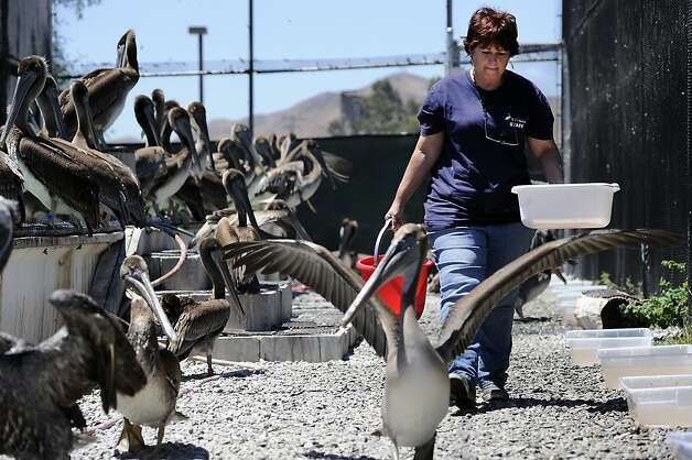 Cheryl Reynolds carries buckets of fish for the pelicans during feeding time.  The San Francisco Bay Oiled Wildlife Care and Education Center in Fairfield, CA has seen an influx of emaciated brown pelicans in the last few months and volunteers are working diligently to rehabilitate and release them back into their costal environments.  Friday July 20th, 2012 Photo: Michael Short, Special To The Chronicle
