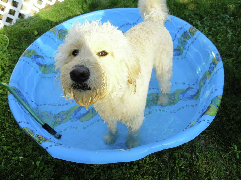 Rigby cools off in his swimming pool on a hot summer day at his Colonie home. He?s a two year old goldendoodle with ?a great disposition? who loves swimming in lakes, oceans and rivers. ?But the days we don?t get out to any of those he has his very own swimming pool we put out in the backyard,? Kelly Snyder says. (Kelly Snyder)