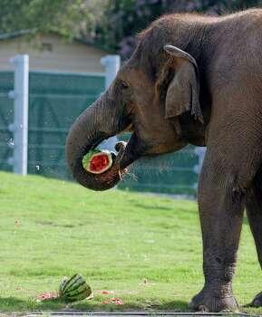 The Houston Zoo's elephant Tess eats a watermelon.. See more photos of baby animals born at the Houston Zoo. Photo: James Nielsen, Chronicle / © Houston Chronicle 2012