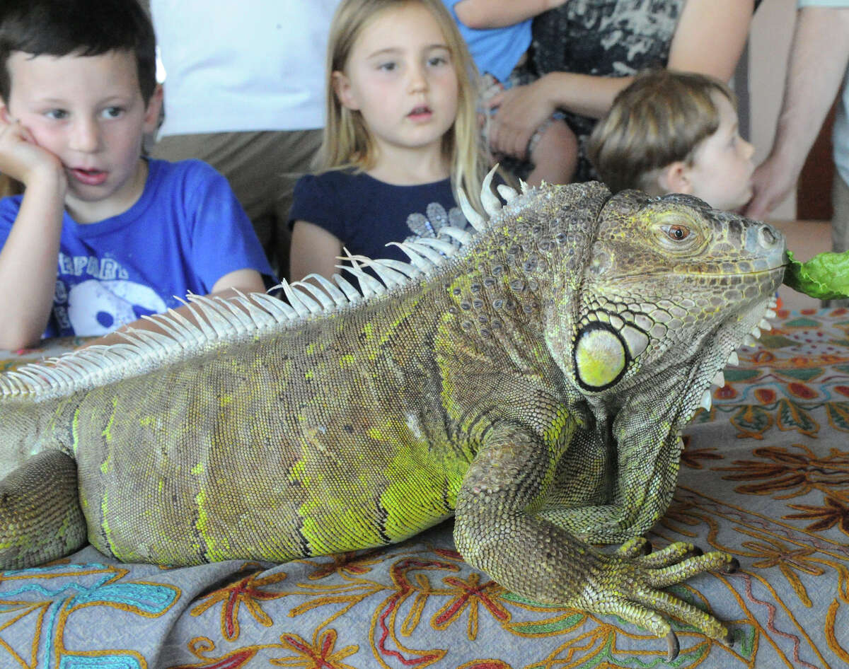 Mason Davis, 5, Cayenne Ceman, 4, and Sam Resnick-Riemer, 3, examine an iguana named Rain during the DSSD's Roll'n on the River benefit for the Mill River Park at 1010 Washington Boulevard in Stamford, Conn., July 22, 2012. The event features live animals, crafts and music.