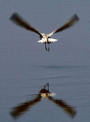 A Snowy Plover soars over the marsh at the Eden Landing Ecological Reserve on Tuesday July 9, 2012, in Hayward, Calif. On May 31, 2012. The California Wildlife Conservation Board, under the Department of Fish and Game, allotted $29 million in funding from voter-approved bonds for thirty habitat protection and restoration projects across the state, with $11.5 million coming in for protection of nearly 2,000 acres on the perimeter of San Francisco Bay. Photo: Michael Macor, The Chronicle