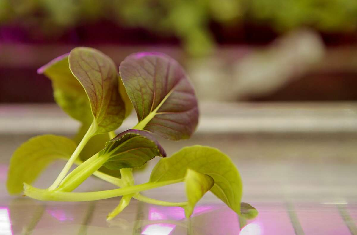 Red bok choy cabbage is seen at the indoor Ecopia farms in Campbell, Calif. on Monday, July 15, 2012.