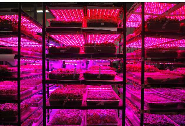 Ecopia, the indoor farm that provides specialty produce for chefs, uses LED lighting at their facility in Campbell, Calif., on Monday, July 16th, 2012. Photo: Megan Farmer, The Chronicle