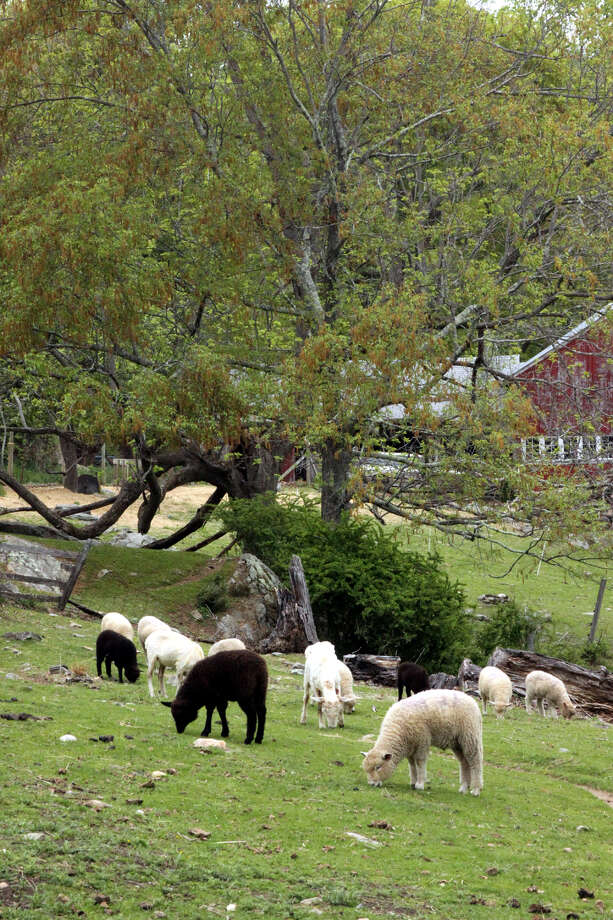 Sheep grazing on a hillside provide a pastoral scene, but lamb is among high-protein foods that have the greatest impact on greenhouse gases. Photo: Walter Kidd, File Photo / The News-Times Freelance