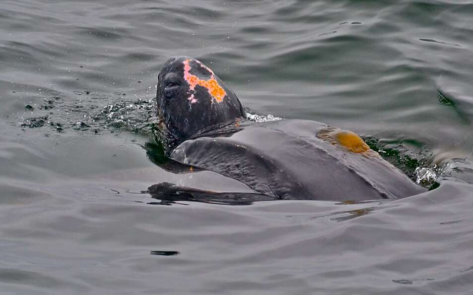 A rare Pacific leatherback swims off the central coast. The population has declined more than 90 per