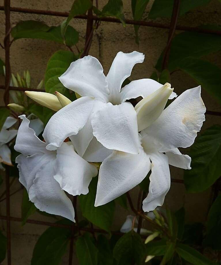 Mandevilla laxa, known as Chilean jasmine. Photo: Annie's Annuals & Perennials